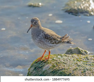 The orange feet of the purple sandpiper stands out against the mossy green stone