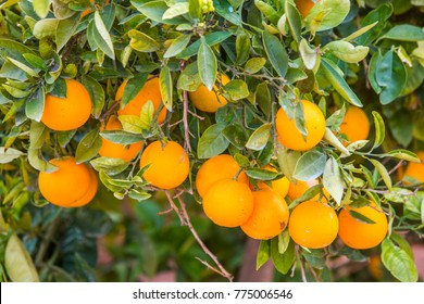 orange field, oranges grow on tree