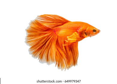 Orange fighting of two fish isolated on white background, siamese fighting fish, Betta fish. File contains a clipping path.