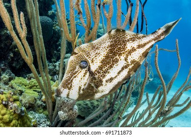 Orange filefish on coral reef in The Bahamas.