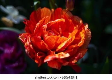 Orange filled tulip