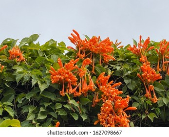 Orange firecracker flower on the roof