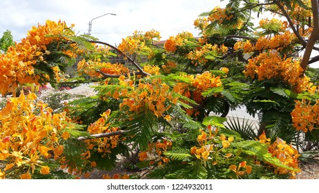 Orange flamboyant tree blooming at the supermarket garden in aruba
