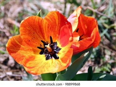 Orange Flame Tulip in the wild