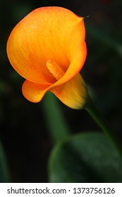 Orange flower of Arum lily, also called Calla lily against dark background (Zantedeschia)
