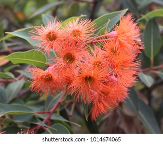 orange flower blossom of Australian eucalyptus gum tree-stock photo image