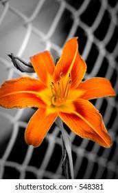 Orange flower with b/w background