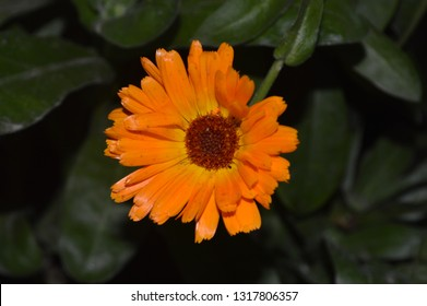 orange flower calendula