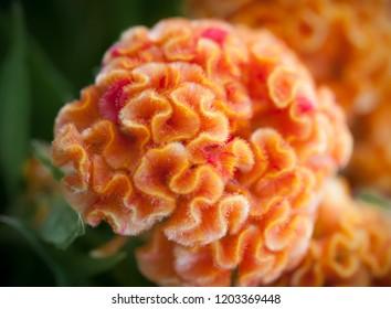 Orange flower of celosia argentea var cristata