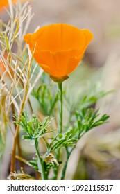 Orange flower of eschscholzia in the field