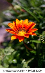 Orange flower in the garden outside with open leaves covered by fresh water drops in the morning.