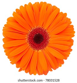 Orange flower of gerber isolated on white background, clipping path included