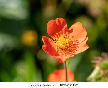 Orange flower of Geum coccineum (Scarlet avens). Shallow depth of field