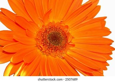 Orange flower herbera