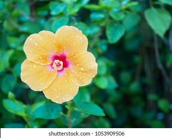 Orange flower (Hibiscus) with water drops after rain storm in spring season.