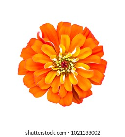 Orange flower isolated on white background with clipping path