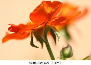 Orange flower. macro.
