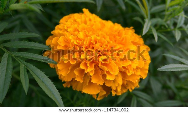 Orange flower on a background of green foliage, close-up, blurred bokeh background. Vegetable macro background