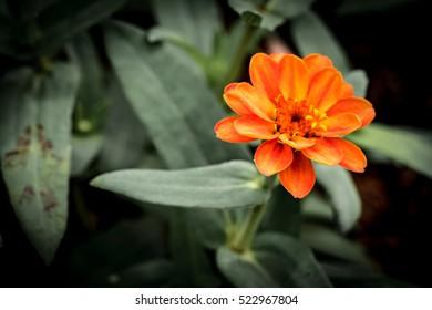 Orange flower on green leaves background