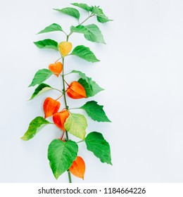 Orange Flower of physalis alkekengi isolated on white background. Withania somnifera. Ashwagandha. Chinese lantern plants, Japanese lantern, bladder cherry, winter cherry. Square image