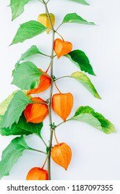 Orange Flower of physalis alkekengi isolated on white background. Withania somnifera. Ashwagandha. Chinese lantern plants, Japanese lantern, bladder cherry, winter cherry