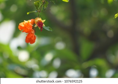 Orange flower of pomegranate tree blooming on natural background in sunshine day.  Copy space.