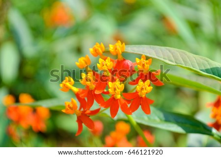 Orange flowers 5 petals yellow pollen stock photo edit now orange flowers with 5 petals yellow pollen and green leaf background mightylinksfo