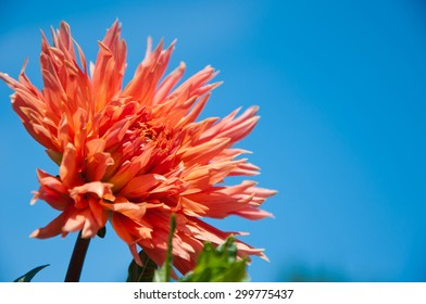 Orange flowers against the blue sky.