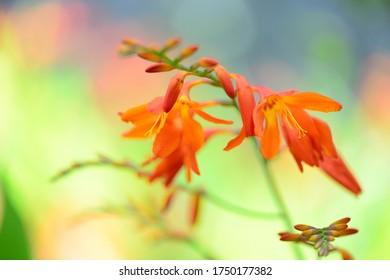 夏に咲くオレンジの花。  日本