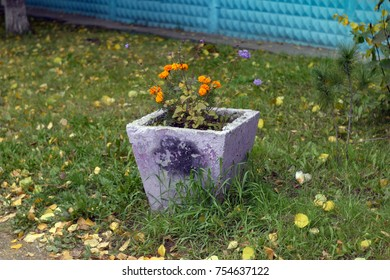 Orange flowers in a concrete old flowerbed. Autumn background