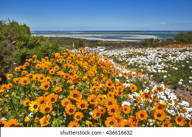 Orange flowers covers the fields along the Cape West Coast in South Africa after heavy rains during the flower season in Spring time