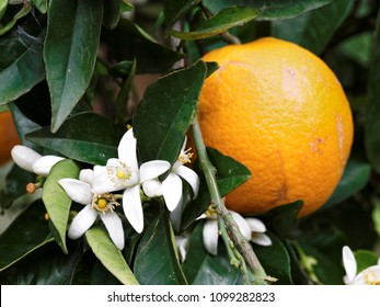 Orange flowers and fruits (Citrus sinensis) in the Botanical Park of Crete near Chania, Western Crete