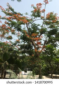 Orange flowers of Gulmohar tree