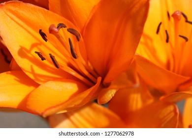 Orange flowers of Lilium (Lilium candidum), lilies, lily