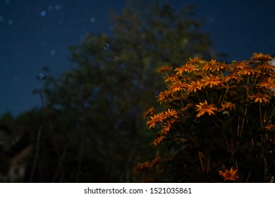 Orange flowers at night with starry sky in blurred background