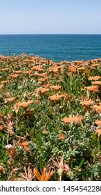 Orange flowers and ocean view. Taken in Praia Das Macas in Portugal