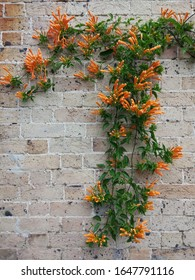 Orange flowers on the brick background near the house in New South Wales, Australia