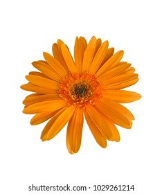 Orange flowers on white isolated background with clipping path.