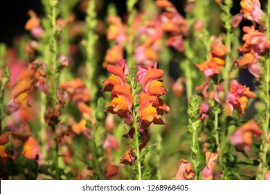 Orange flowers snapdragons, known as dragon flowers growing in sunny garden