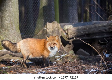 Orange fox  outdoors in a park