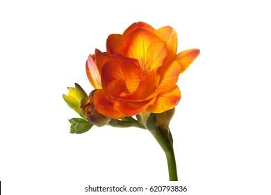Orange Freesia flower isolated on white background