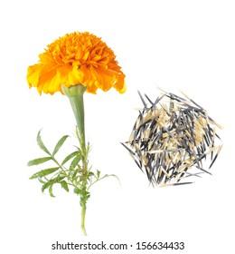 Orange french marigold flower and seeds isolated on white