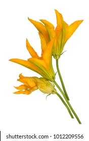 Orange fresh flowers of garden zucchini squash. Flowers can be eaten. Isolated on white studio shot
