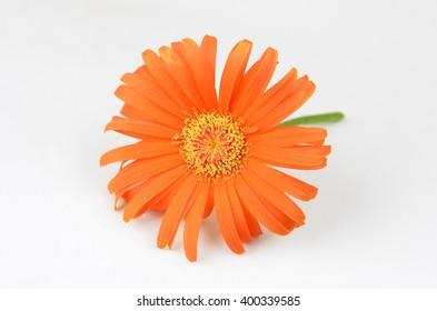 Orange fresh gerbera flower on white background