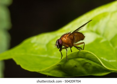 Orange Fruit Fly  on the green leaf