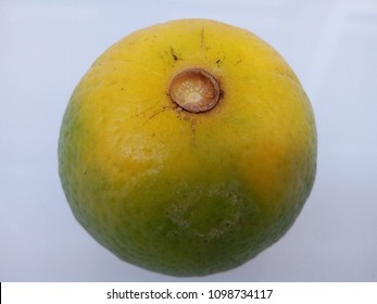 Orange fruit infected with Huanglongbing HLB bacterial disease ripen backwards with the stylar end remaining green as the fruit colors, also known as color inversion symptom