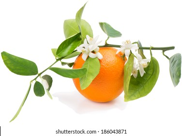 Orange fruit on a branch with leaves and blossom isolated on a white background