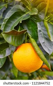 Orange fruit on an orange tree. Organic and healthy food