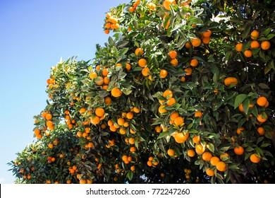 Orange fruit. Orange tree with fruits. Spain.