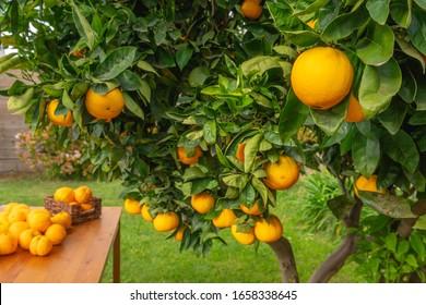 Orange fruits close up. Orange tree bearing full grown fruits.